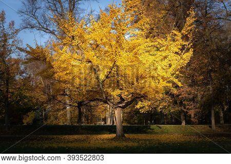 Beatuiful Gingko Biloba Tree In Autumn. Yellow Leaves Lit By Morning Sun In A Public Park Stromovka