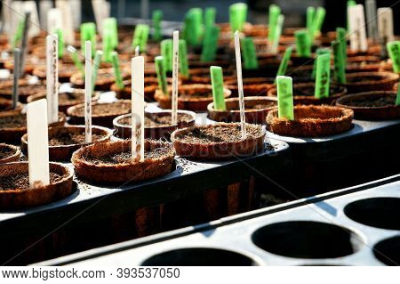 Seed Cultivation Of Plants And Little Planting Date Label In Black Nursery Tray With Sunlight On Sur