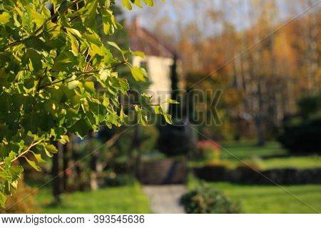 Autumn Leaves Of Ginkgo Biloba On A Natural Background. Landscaping In The Home Garden.