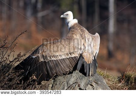 The Griffon Vulture (gyps Fulvus),with Outstretched Wings,with A Background Of Forest, Falconry Led
