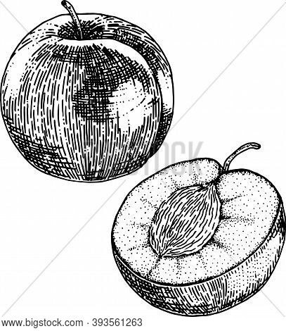 Black And White Crosshatch Vector Illustration Of A Plume And Half A Plume With The Pit Showing. No