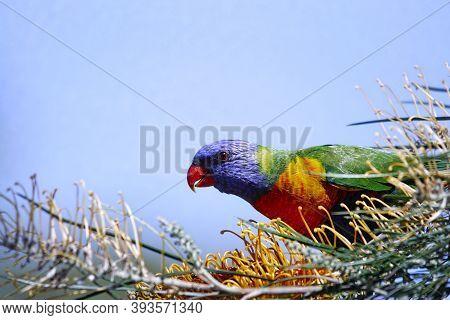 Brightly Coloured Australian Native Rainbow Lorikeet (trichoglossus Moluccanus) Feeding On A Grevill