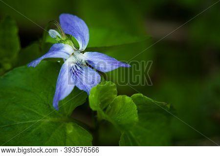 Single Early Dog-violet Flower, Large Close Up