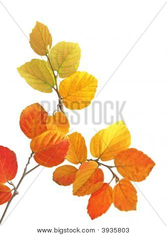 Fothergilla Leaves