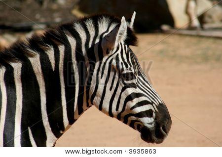 Zebra Thinking