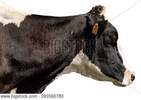 Holstein Friesian Cattle, Portrait Of A Black And White Dairy Cow Isolated On White Background. Ital
