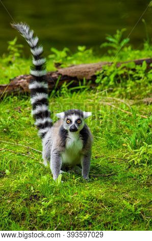 The Ring-tailed Lemur (lemur Catta) Is A Large Strepsirrhine Primate And The Most Recognized Lemur D