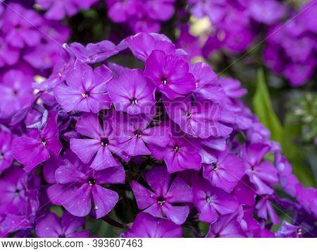 Purple Flame Flowers Of Phlox. Flowering Garden Phlox, Perennial Or Summer Phlox In The Garden On A