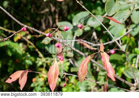 The Pink Poisonous Fruits Of A Common Spindle Shrub In Sunlight