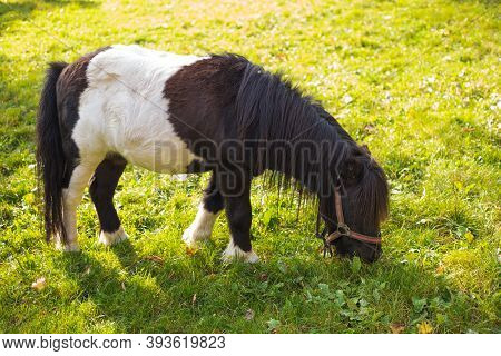 Miniature Pony In Green Field, Portrait Of A Horse On A Meadow