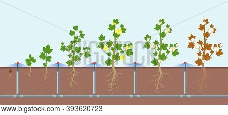 Vector Illustration Of Cotton Growing And Watering On Field, Eco Farming And Smart Agriculture Conce