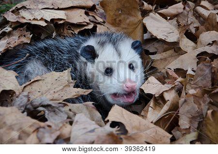 Opossum In Leaves