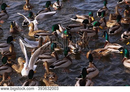 Winter Feeding Frenzy With Ducks And Small Gulls. Ducks And Little Gulls Eating In Winter On River.