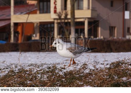 Little Gull Searching For Food In Winter With Snow. Wild Bird In Cold Winter On Cold Freezing Ground