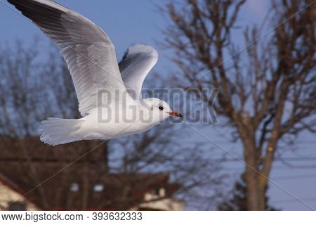 Black-headed Gull Flying In Cold Winter In City. Wild Bird In Flight In Cold Winter. Flying Black-he