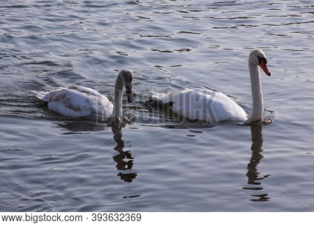 Two White Swans On River Surface In The City. Wild Birds In Cold Winter On Cold Freezing Water Surfa
