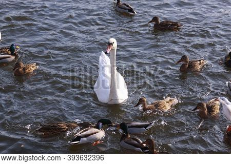 White Swan Surrounded By Ducks On Lake Surface. Wild Birds In Cold Winter On Cold Freezing Water Sur