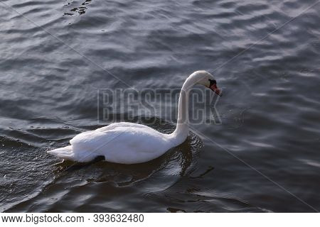 Single White Swan Floating On River Surface. Wild Bird In Cold Winter On Cold Freezing Water Surface