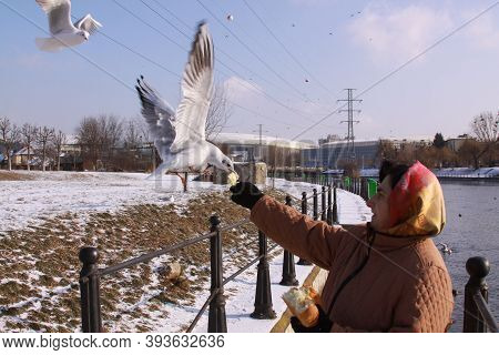 Cluj-napoca, Romania - January 15, 2019: Black-headed Gulls Taking Bread From Woman's Hand. Wild Bir