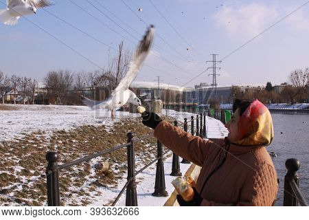Cluj-napoca, Romania - January 15, 2019: Black-headed Gulls Stealing Bread From Woman's Hand. Wild B