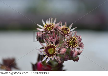 Hens And Chicks Plant. White-pink Flowers And Buds With Yellow Anthers Arranged In A Circle