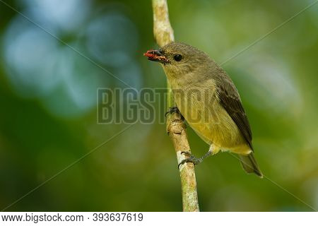 Plain-colored Tanager - Tangara Inornata Bird In The Family Thraupidae, Found In Colombia, Costa Ric