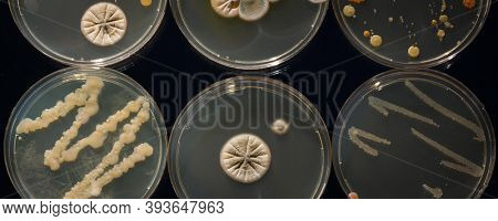 A petri dish with growing cultures of microorganisms, fungi and microbes. A Petri dish  ( Petrie dish) known as a Petri plate or cell-culture dish