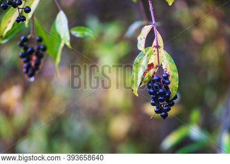Small Branch With Common Privet Berries After Rain In Autumn. Close Up.