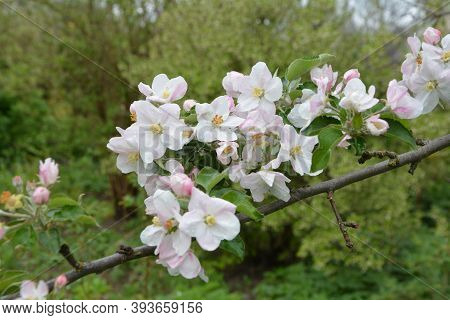 Blooming Apple Tree In Spring Time.blooming Apple Tree.