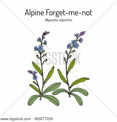 Alpine Forget-me-not Myosotis Alpestris , State Flower Of Alaska. Hand Drawn Botanical Vector Illust