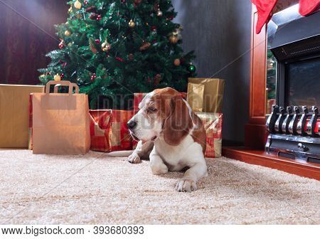 Funny Dog  Rest On Carpet Near To Fireplace. Beagle In Empty Room With Christmas Decorations.