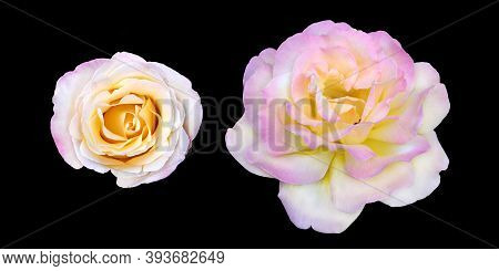 Pink Rose Gloria Dei. Isolated Beautiful Branch With Bud Of Pink Rose. Rose Petals