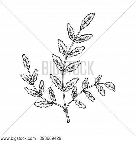 Indian Frankincense Salai Or Boswellia Serrata Vintage Illustration.olibanum-tree Boswellia Sacra ,