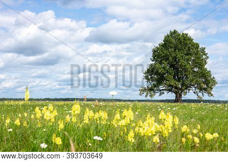 Landscape Of Summer Meadow. Alone Tree In Green Meadow. Summer Sunny Day With Clouds. Yellow Flowers
