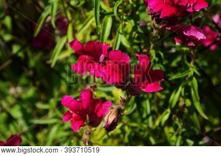 Beautiful Garden Flowers At Sunny Day, Snapdragon Flowers Blooming In Garden, Colorful Snapdragons