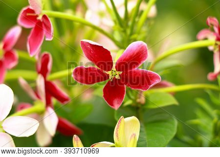 Red And White Flowers Of Combretum Indicum, Known As The Rangoon Creeper  Or  Chinese Honeysuckle