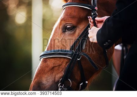 A Female Rider Adjusts The Black Leather Rein On The Bridle Worn On The Face Of A Sorrel Racehorse.