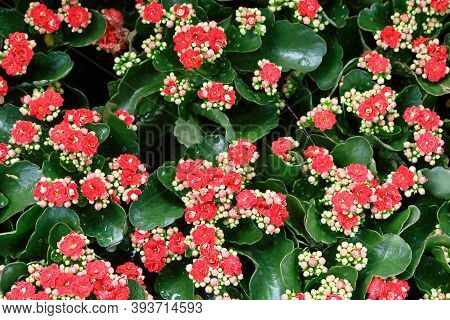 Pink And Red Kalanchoe Blossfeld Flowers On A Background Of Green Leaves. Soft Focus, Selective Focu