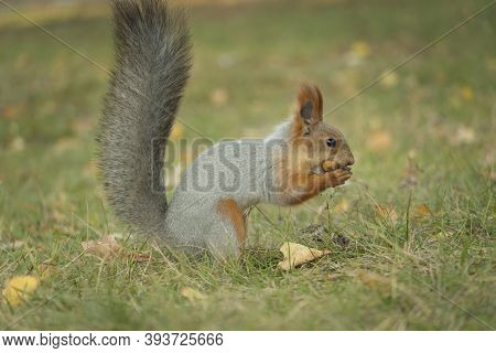 A Squirrel With A Fluffy Tail Nibbles Nut. Wild Nature, Gray Squirrel In The Autumn Forest. Squirrel