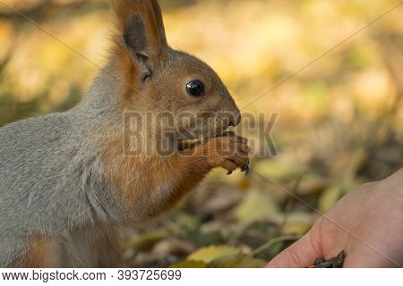 A Squirrel With A Fluffy Tail Nibbles Seeds. Wild Nature, Gray Squirrel In The Autumn Forest. Squirr