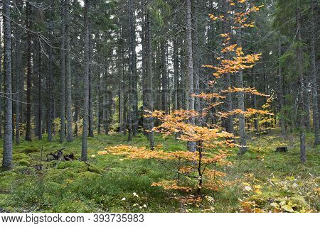 Colorful Small Beech Tree In A Green Forest In Fall Season