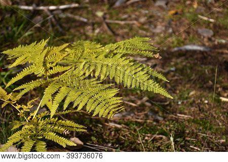 Beautiful Fern Plants Close Up By Fall Season