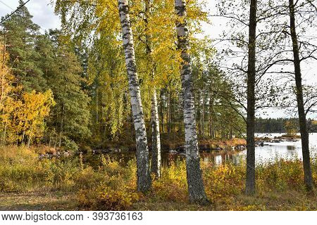 Glowing Birch Trees By Lakeside In The Swedish Province Smaland