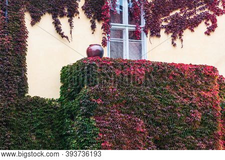 ivy on the wall of a house with window