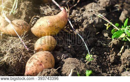Freshly Dug Potatoes Lie On Loose Soil. Harvesting. Gardening And Farming. Fresh Organic Vegetables,