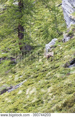 A Photo Of A Chamois Walking In Mountain, Italy