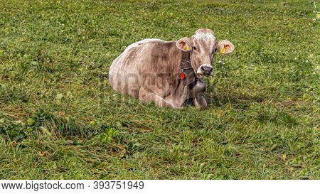 One Cow Laying On Meadow In Grengiols, Switzerland. Famous Brown Swiss Cattle With Cowbell. Swiss Br