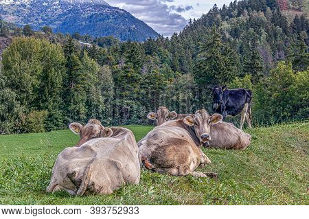 Four Cows Laying On Meadow In Grengiols, Switzerland. Famous Brown Swiss Cattle With Cowbell. Swiss