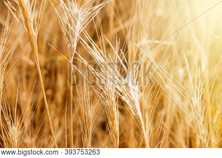 Pampas Grass Outdoor In Light Pastel Colors. Sunny Wheat Wallpaper In Boho Style. Golden Ripe Ears O