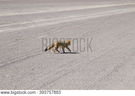 Andean Fox From Bolivia. Bolivian Wildlife. Nature